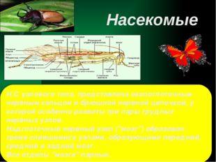Н.С узлового типа, представлена окологлоточным нервным кольцом и брюшной нерв