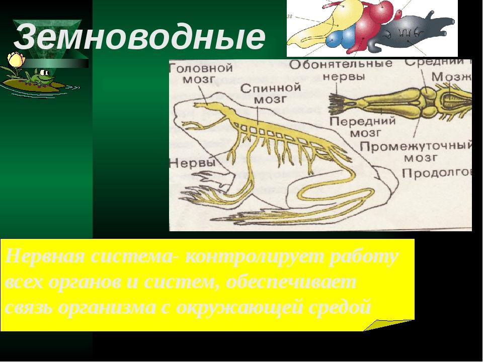 Нервная система- контролирует работу всех органов и систем, обеспечивает связ...