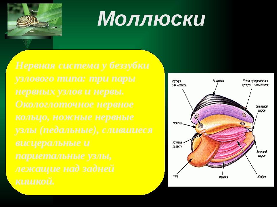 Нервная система у беззубки узлового типа: три пары нервных узлов и нервы. Око...