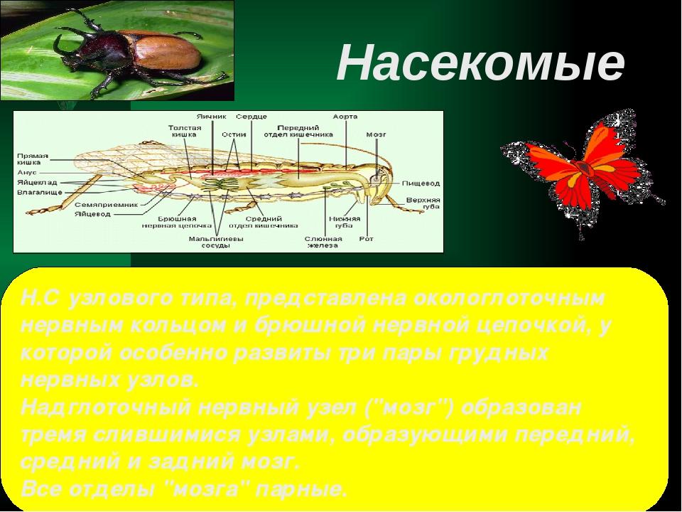 Н.С узлового типа, представлена окологлоточным нервным кольцом и брюшной нерв...