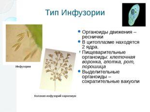 Тип Инфузории Органоиды движения – реснички В цитоплазме находятся 2 ядра. Пи
