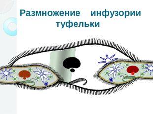 Размножение инфузории туфельки Размножаются инфузории только бесполым путем
