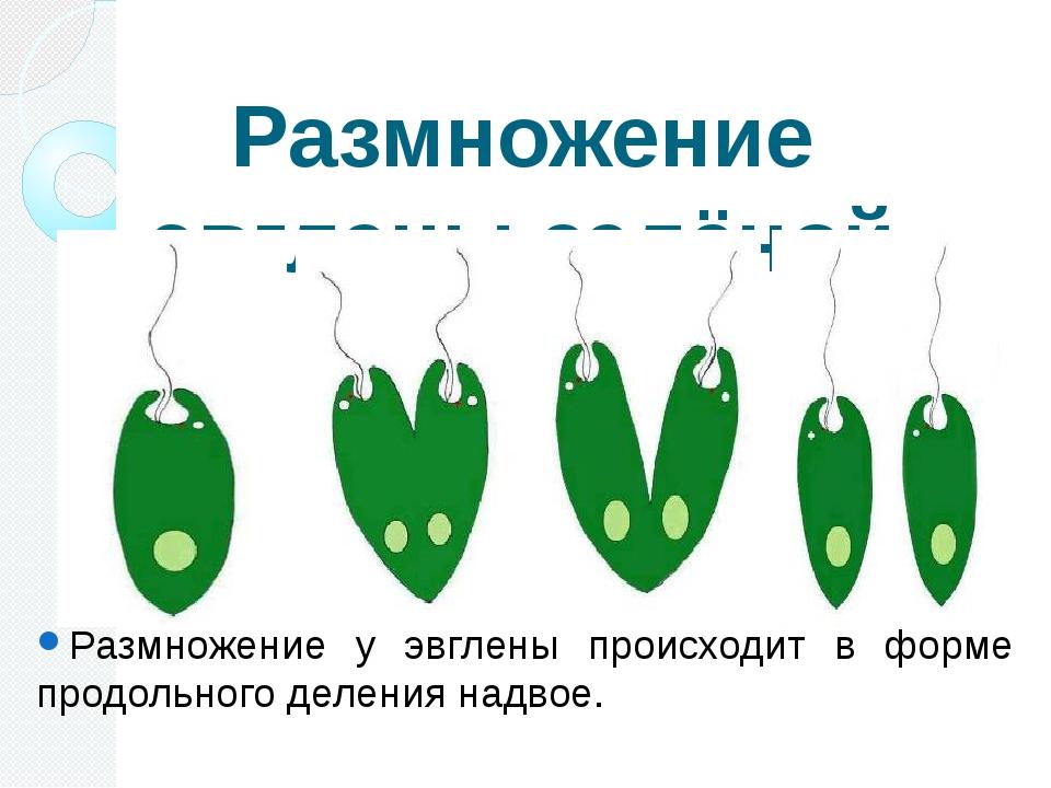 Размножение эвглены зелёной Размножение у эвглены происходит в форме продольн...