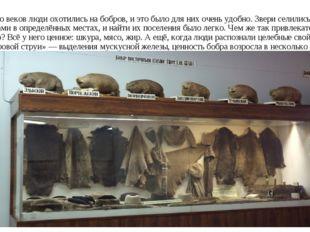 Много веков люди охотились на бобров, и это было для них очень удобно. Звери