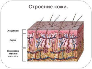 Строение кожи.