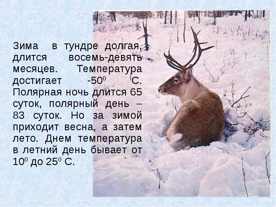 Зима в тундре долгая, длится восемь-девять месяцев. Температура достигает -50...