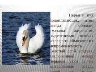 Перья и пух водоплавающих птиц всегда обильно смазаны жировыми выделениями о