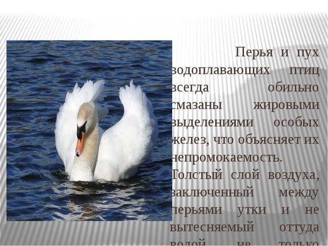 Перья и пух водоплавающих птиц всегда обильно смазаны жировыми выделениями о...