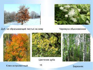 Дуб, не сбрасывающий листья на зиму Цветение дуба Клен остролистный Березняк