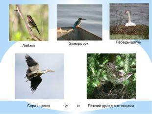 Зяблик Зимородок Лебедь-шипун Серая цапля Певчий дрозд с птенцами