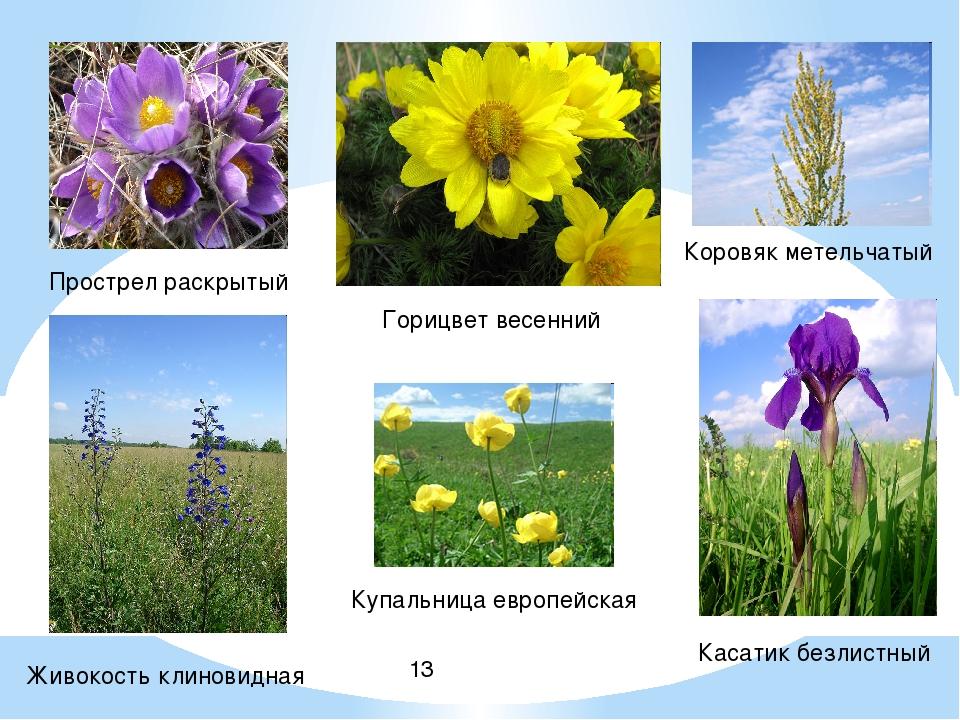 Прострел раскрытый Горицвет весенний Живокость клиновидная Касатик безлистны...