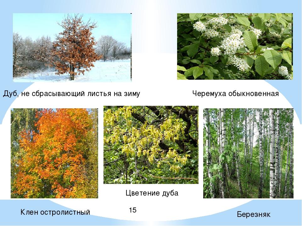 Дуб, не сбрасывающий листья на зиму Цветение дуба Клен остролистный Березняк...