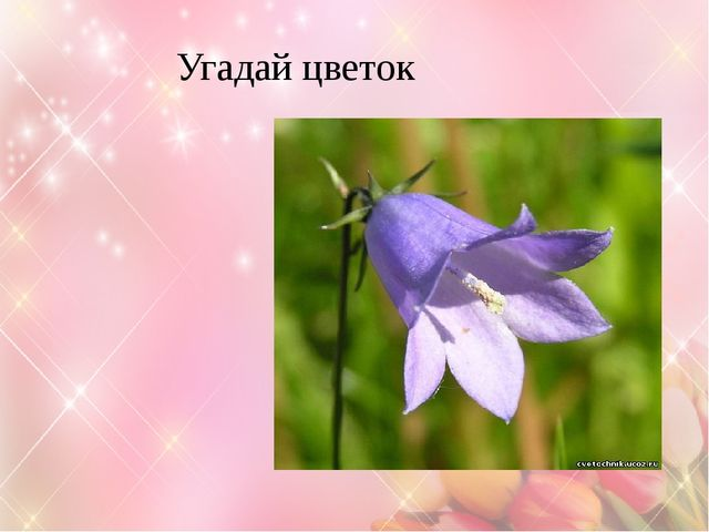 Угадай цветок Колокольчик