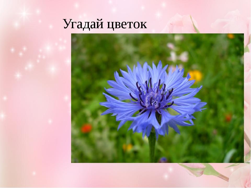 Угадай цветок Василёк