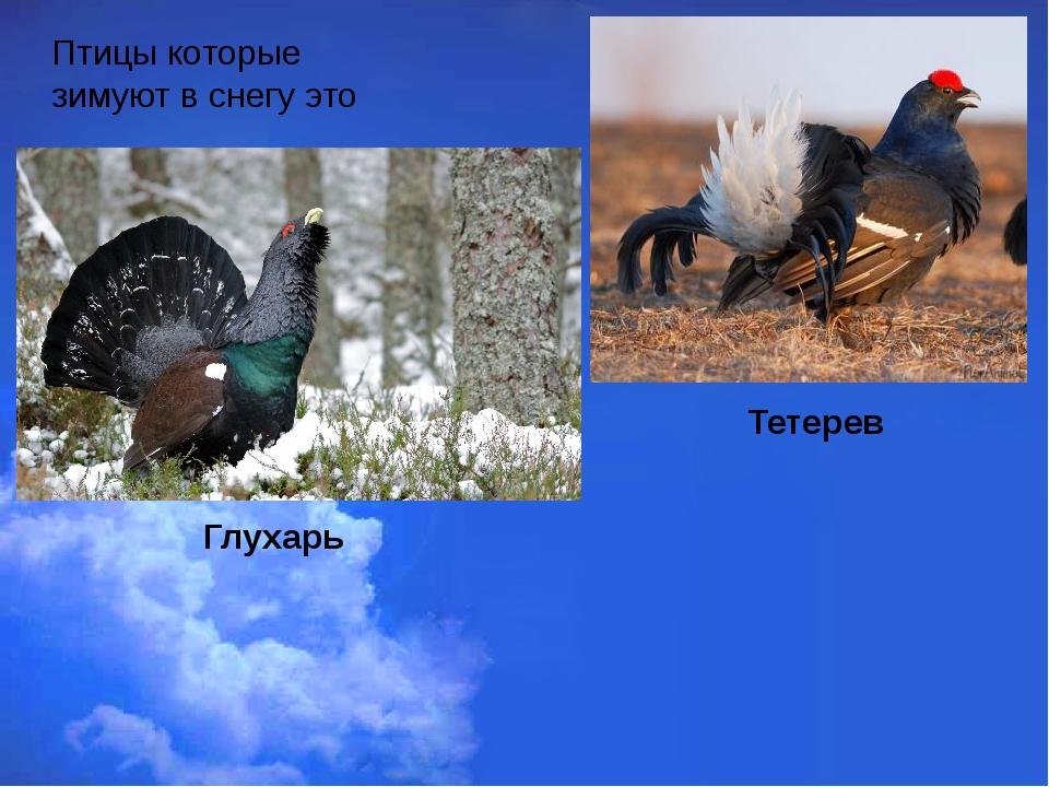 Птицы которые зимуют в снегу это Тетерев Глухарь