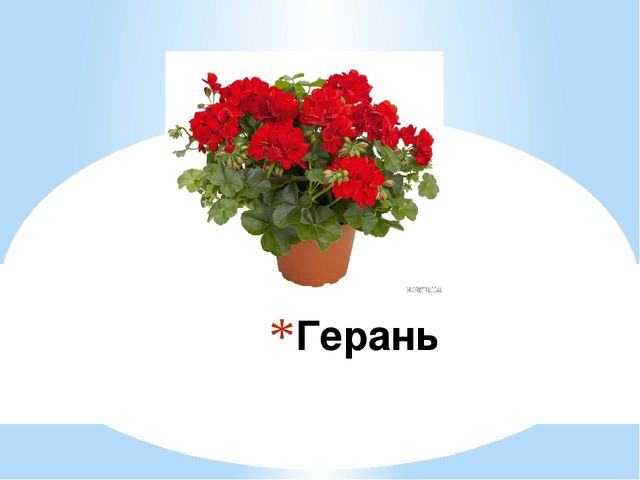 растениями с герань комнатными знакомство
