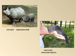 лаосская скальная крыса носорог суматранский