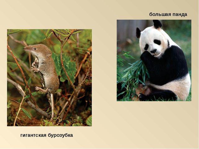 большая панда гигантская бурозубка