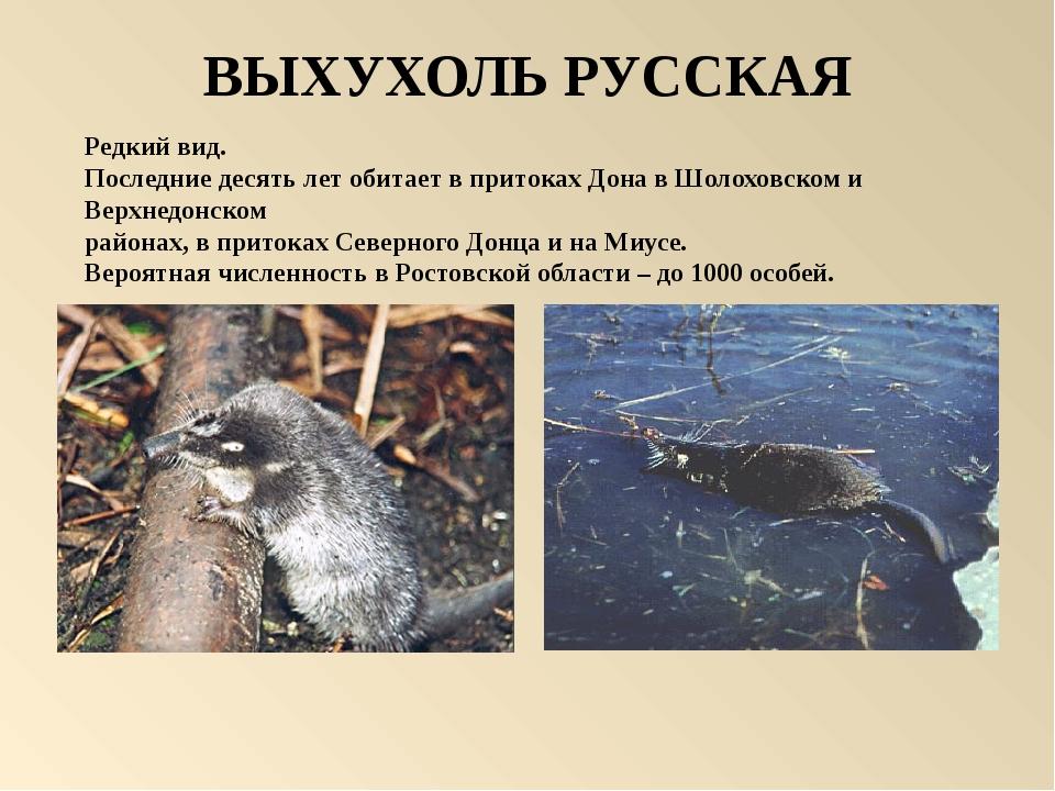ВЫХУХОЛЬ РУССКАЯ Редкий вид. Последние десять лет обитает в притоках Дона в Ш...
