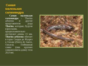 Самая маленькая саламандра Самая маленькая саламандра - Thorius arboreus и д