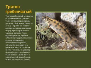 Тритон гребенчатый Тритон гребенчатый отличается от обыкновенного тритона бол
