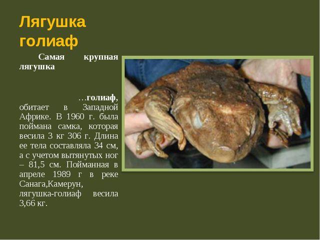 Лягушка голиаф Самая крупная лягушка ...