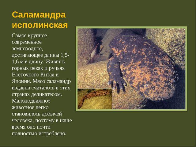 Саламандра исполинская Самое крупное современное земноводное, достигающее дли...
