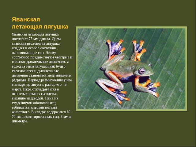 Яванская летающая лягушка Яванская летающая лягушка достигает 75 мм длины. Дн...