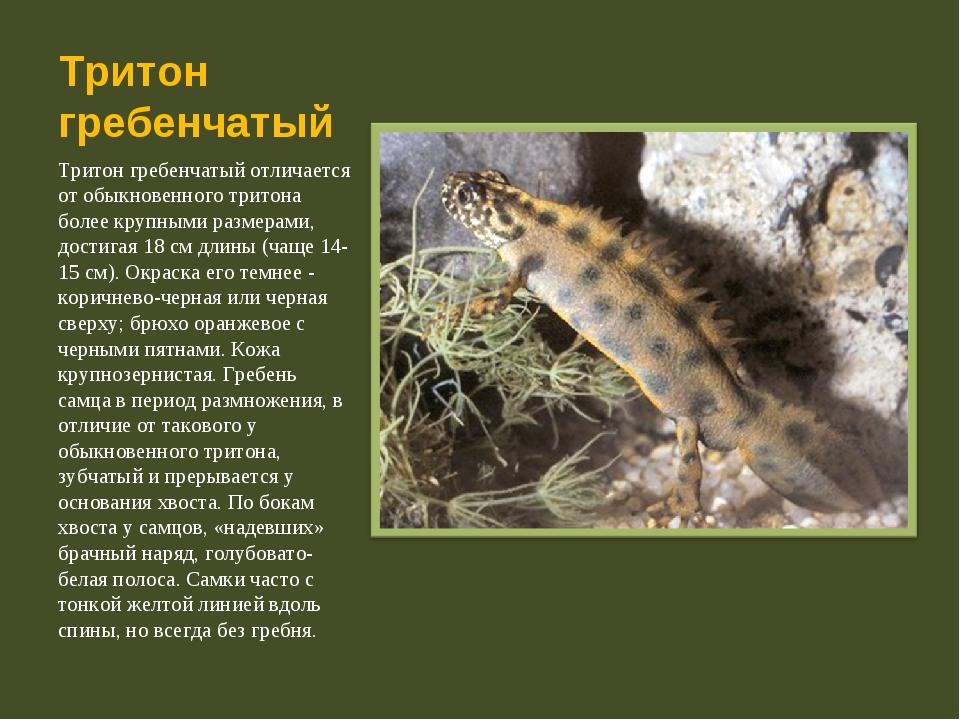 Тритон гребенчатый Тритон гребенчатый отличается от обыкновенного тритона бол...