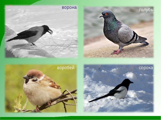 ворона голубь воробей сорока