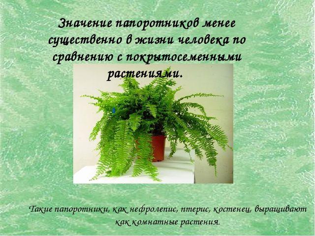 Такие папоротники, как нефролепис, птерис, костенец, выращивают как комнатные...