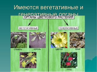 Имеются вегетативные и генеративные органы