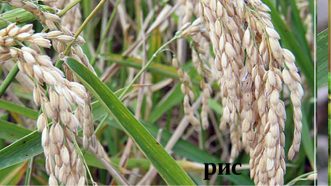 пшеница просо рожь гречиха кукуруза горох овёс соя просо рис