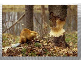 Лапы бобра – уникальные достижения эволюции. Задние лапы имеют перепонки, как