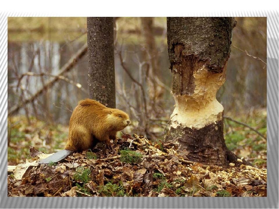 Лапы бобра – уникальные достижения эволюции. Задние лапы имеют перепонки, как...