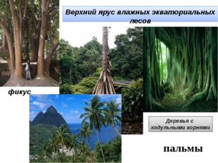 Верхний ярус влажных экваториальных лесов фикус Деревья с ходульными корнями