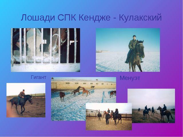 Лошади СПК Кендже - Кулакский Менуэт Гигант