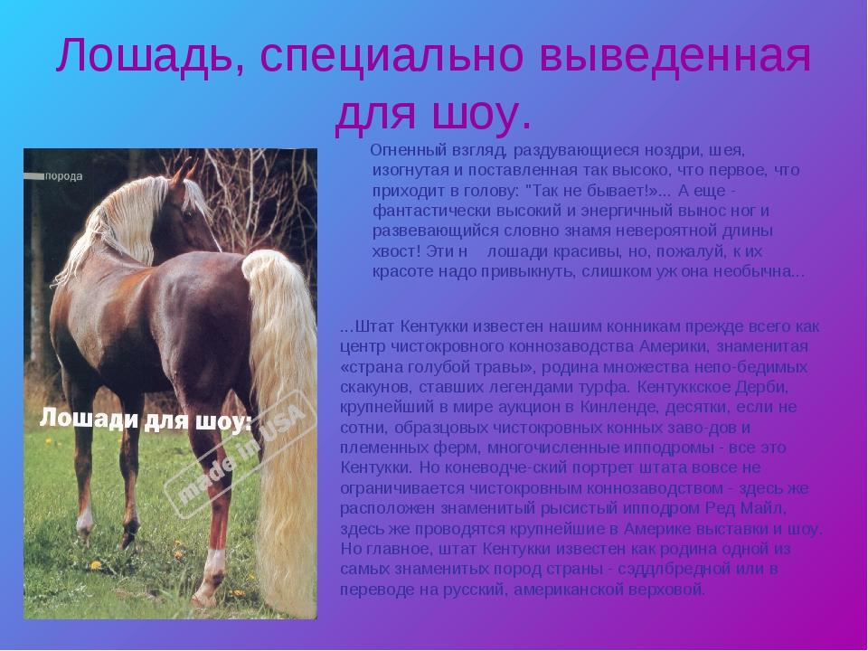Лошадь, специально выведенная для шоу. Огненный взгляд, раздувающиеся ноздри,...