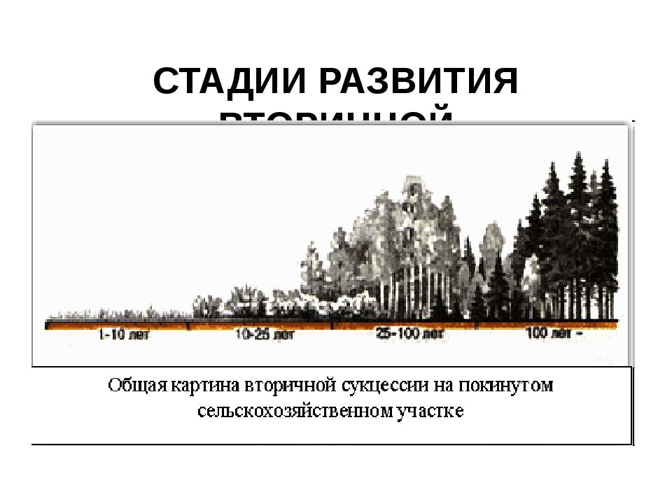 СТАДИИ РАЗВИТИЯ ВТОРИЧНОЙ (восстановительной) СУКЦЕССИИ