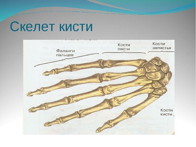 Скелет кисти
