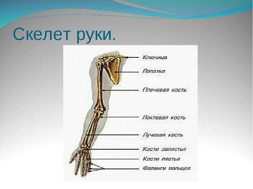 Скелет руки.