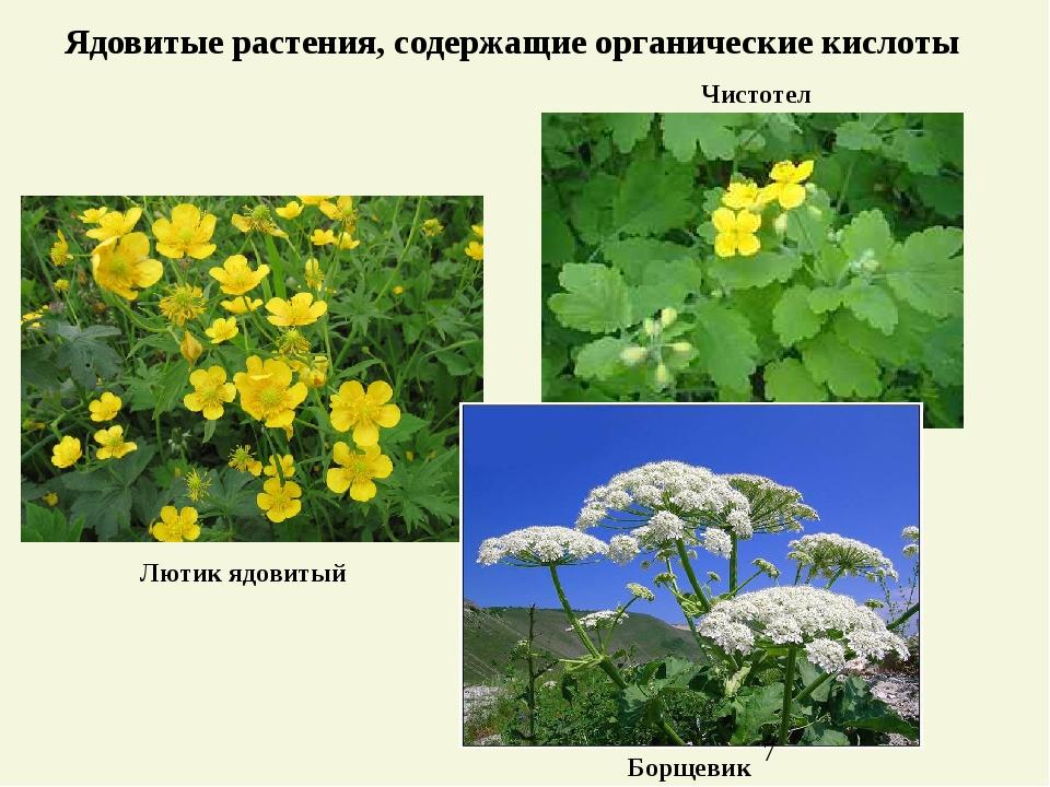 Ядовитые растения, содержащие органические кислоты Чистотел Борщевик Лютик яд...
