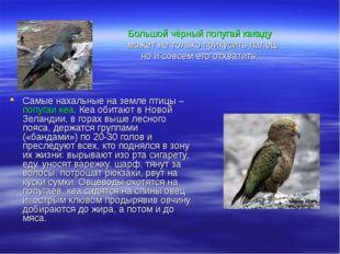 Самые нахальные на земле птицы – попугаи кеа. Кеа обитают в Новой Зеландии, в