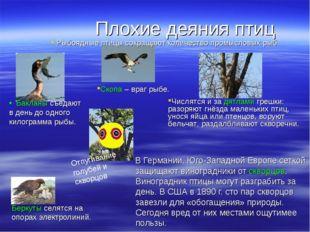 Плохие деяния птиц В Германии, Юго-Западной Европе сеткой защищают виноградни