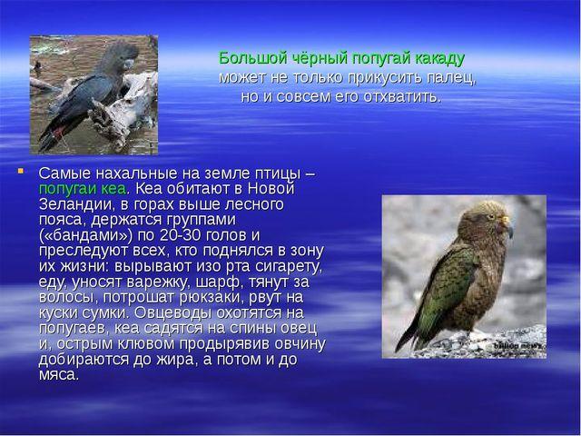Самые нахальные на земле птицы – попугаи кеа. Кеа обитают в Новой Зеландии, в...