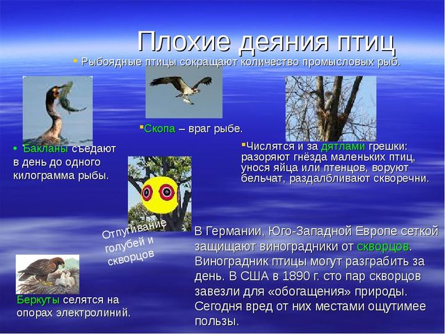 Плохие деяния птиц В Германии, Юго-Западной Европе сеткой защищают виноградни...