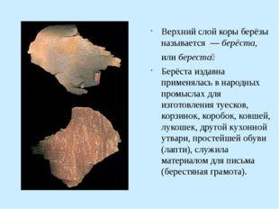 Верхний слой коры берёзы называется — берёста, или береста́ Берёста издавна