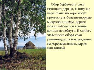 Сбор берёзового сока истощает дерево, к тому же через раны на коре могут про