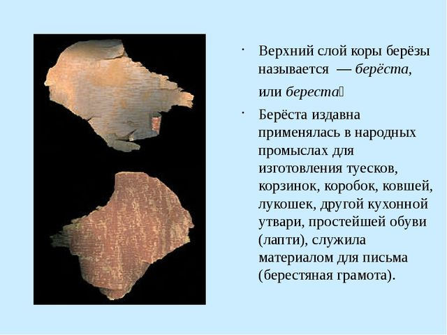 Верхний слой коры берёзы называется — берёста, или береста́ Берёста издавна...