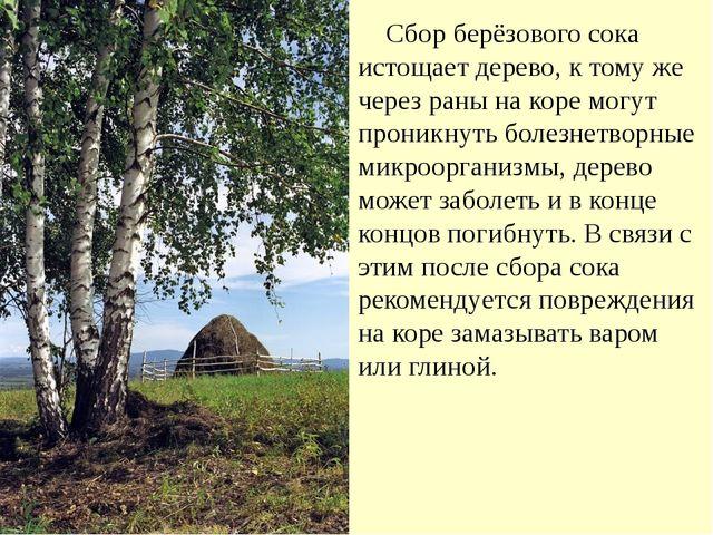 Сбор берёзового сока истощает дерево, к тому же через раны на коре могут про...
